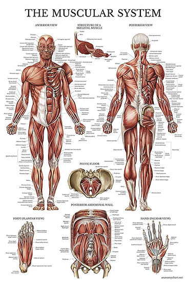 anatomie musculaire.jpg