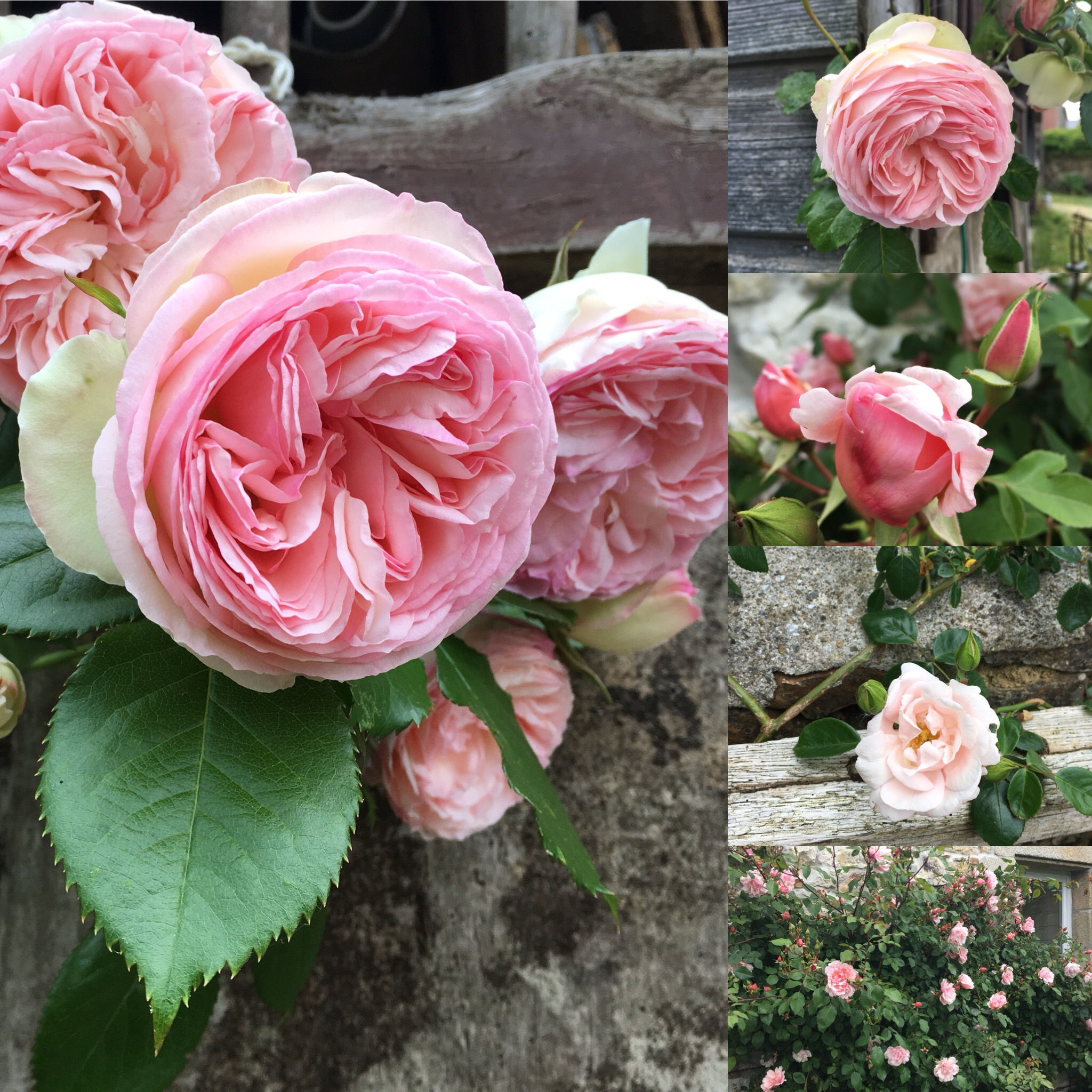 Roses anciennes