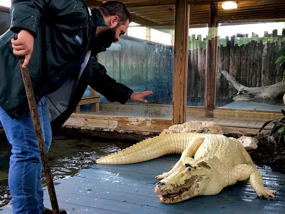 "Brandon Fisher of Gatorland playing ""Simon Says"" with Feros Zombi the Leucistic Alligator"