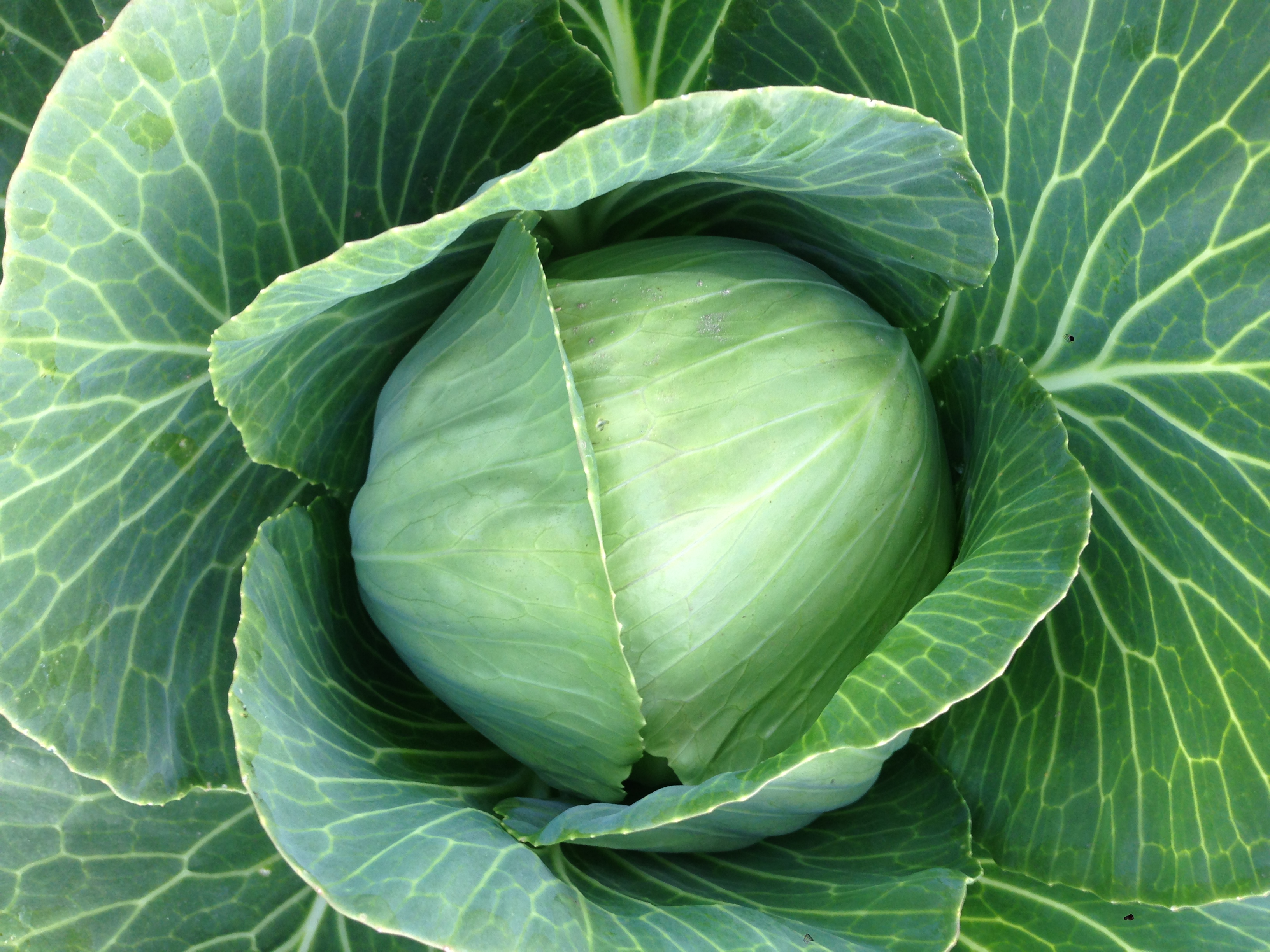 green_cabbage.jpg