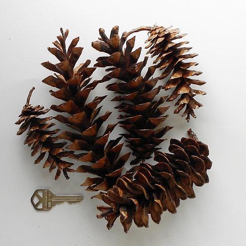 10 Classic White Pine Cones