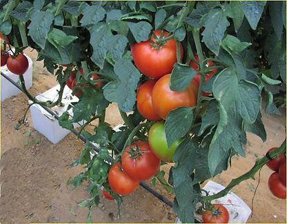 BigTomatoes.jpg