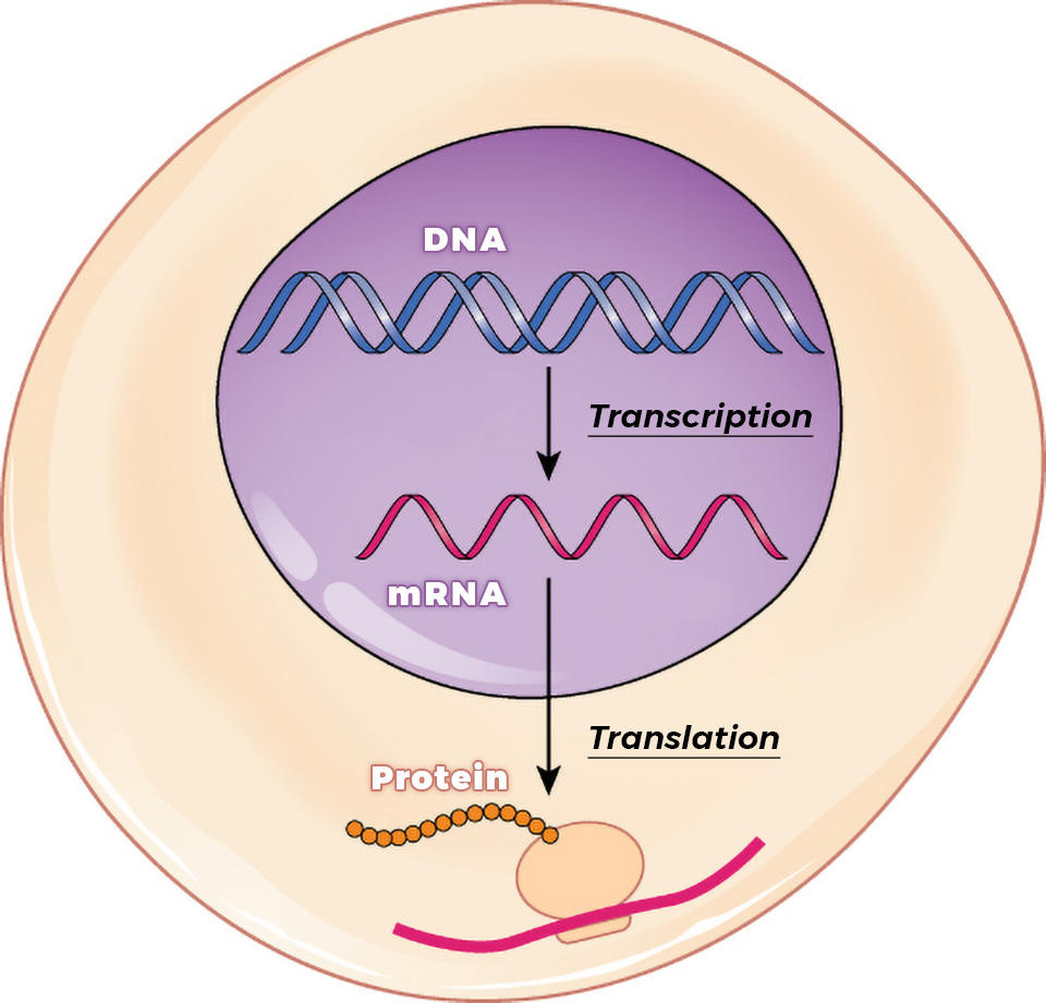 The role and DNA and mRNA