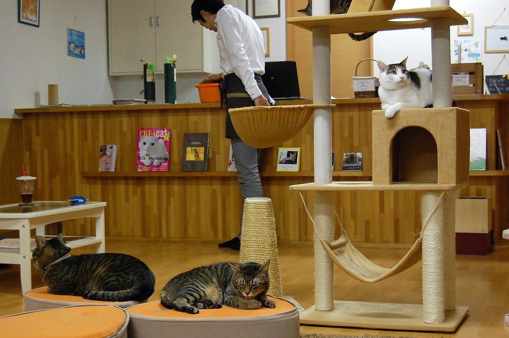 Cat Café em Nekokaigi, em Kyoto