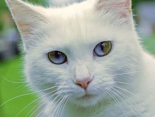 Olhar 43 - A heterocromia em gatos.