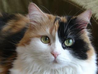 A genética por trás da pelagem dos gatos