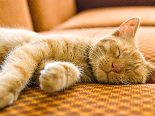 Com o que os gatos sonham?
