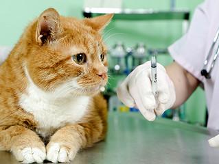 Tire suas dúvidas sobre gatos e vacinas
