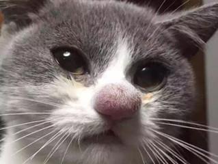 Doenças fúngicas em felinos