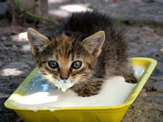 Eu posso dar leite para o meu Gato?
