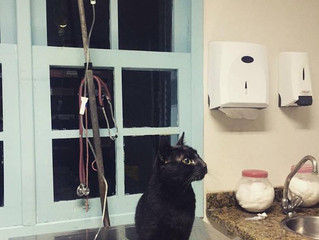 Transplante renal em gatos