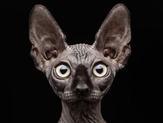 Sem pelos, mas com estilo: conheça o gato Sphynx