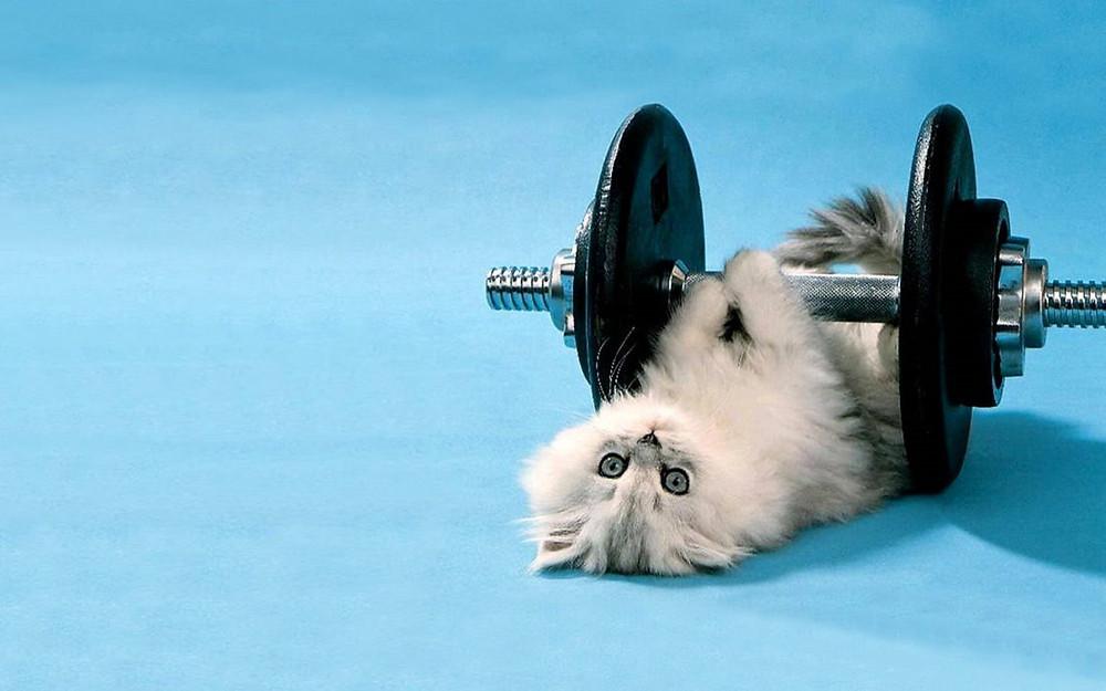 Imagem disponível em: http://www.superiorwallpapers.com/funny-wallpapers/cute-white-cat-lifting-weights-cat-at-gym