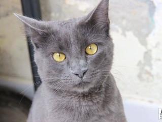 Ronrom para Adoção: Grey!