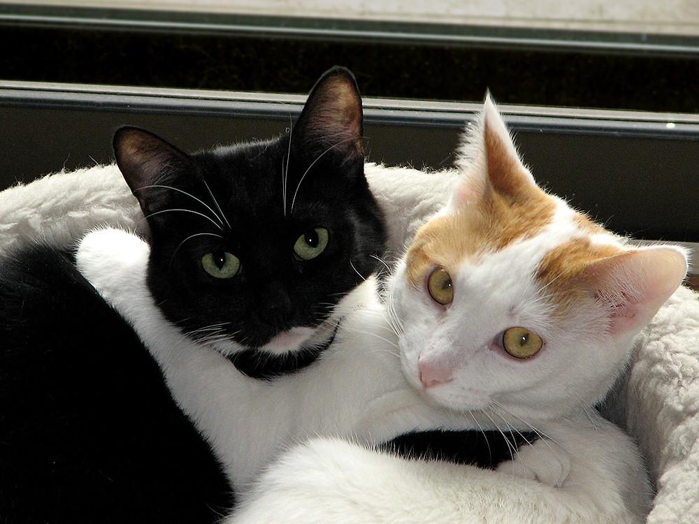 Imagem disponível em: https://upload.wikimedia.org/wikipedia/commons/2/27/Black_white_cats.jpg