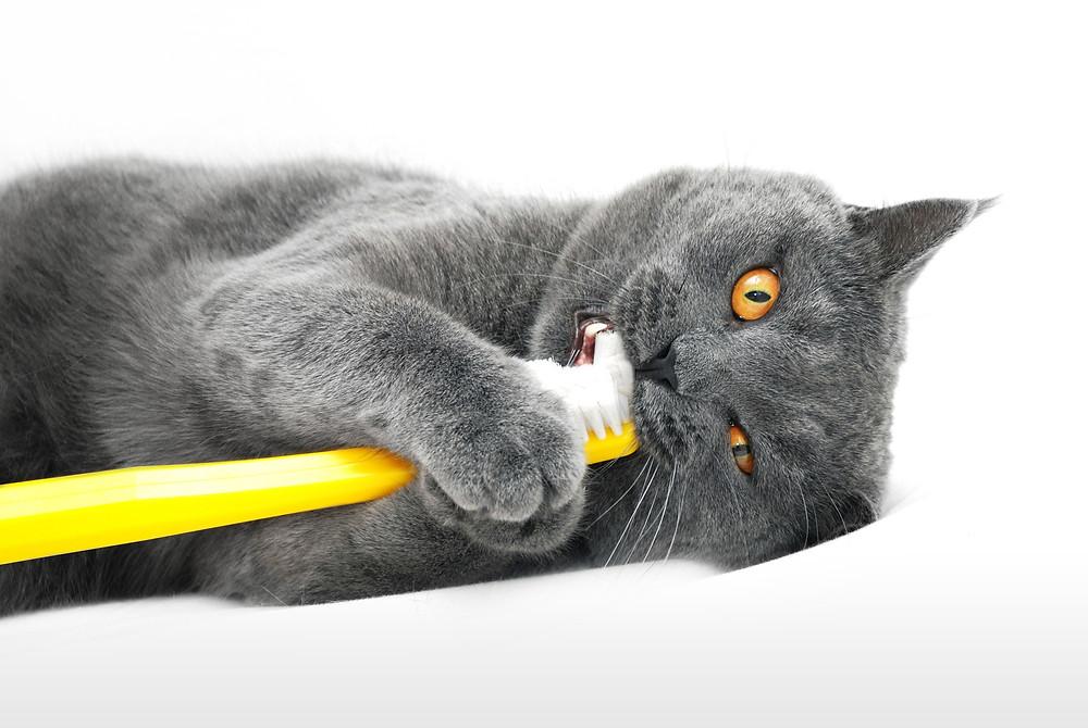 Fonte da imagem: http://pet.continente.pt/sites/default/files/conselhos/cuidados_higiene_oral_gato.jpg