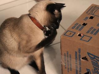 Diversão sem custos: jeito simples de tirar seu gatinho da rotina