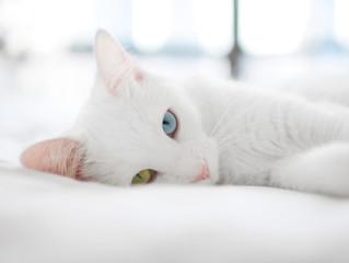 Cuidados com gatos brancos no verão