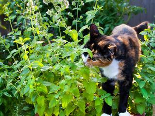 Catnip: dicas para cultivar a erva-dos-gatos em casa