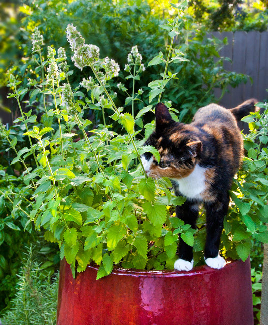 Foto: https://bonnieplants.com/growing/growing-catnip/