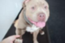 Winston! Boston Dog Training
