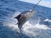 Marlin Charter sport fishing in playas del coco