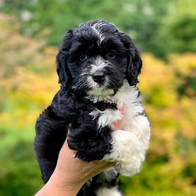 Cider Cavapoo's will be going to their n