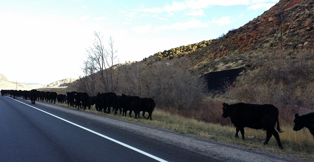 oct cattle.jpg