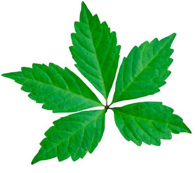 vine leaf.jpg