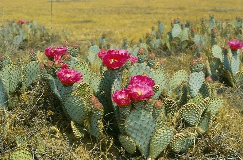 red prickly pear cactus.jpg