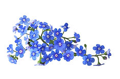 Forget-Me-Not-.jpg