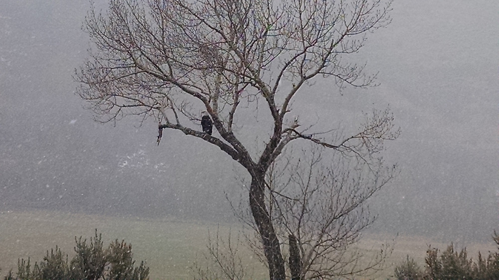 winter eagle in tree.jpg