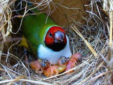 Lady Gouldian's newborns