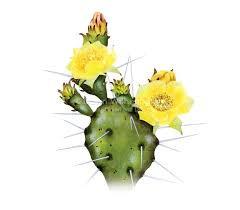 yellow prickly pear cactus image.jpg