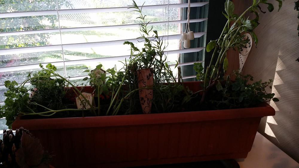 saving a few herbs inside.jpg