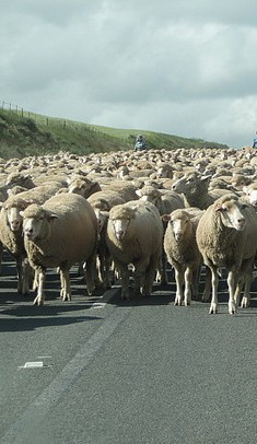 sheep on road.jpg