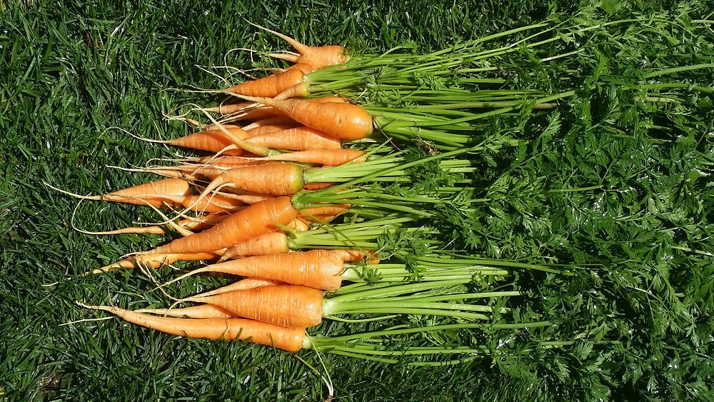 garden carrots.jpg