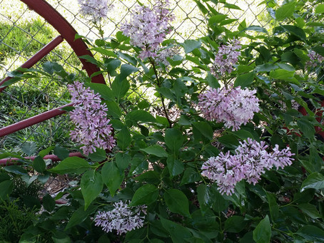 Stop and smell the Lilacs