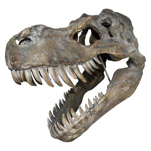 Tyrannosaurus -Rex Large Skull 51.5 cm
