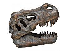 T-Rex small head 16 cm II.jpg
