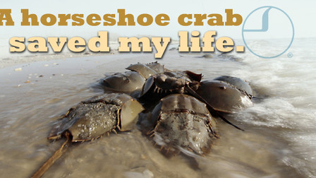 How a Horseshoe Crab Saved My Life