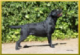 Bizarría Hash - Ch. Toblerone Optimus Canis x Lyra Do Sol D´Arena