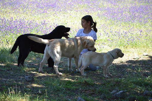 Criador Labrador Retriever Bizarría