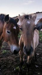 Перевозка лошадей круглосуточно в любые регионы
