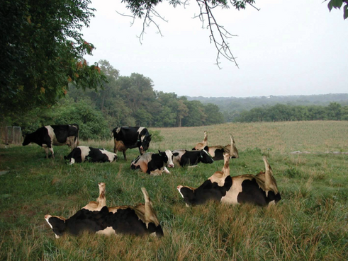 Cow Tipping Happens!