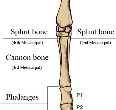 Cannon Bone