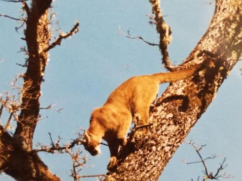 Cougar!