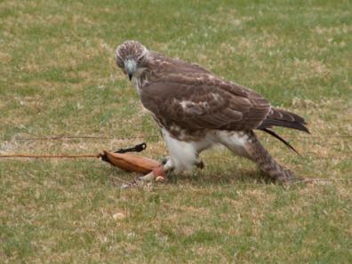 falcon5