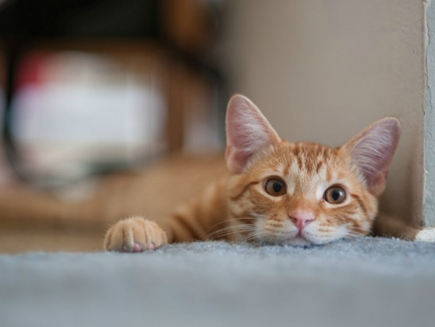 Kitty Distemper: Panleukopenia