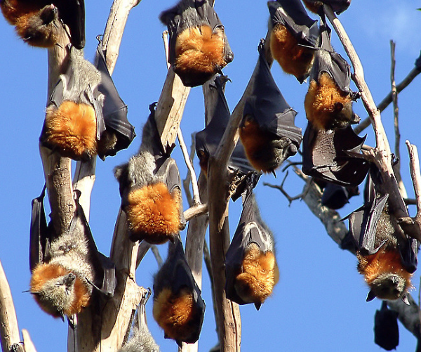 4Australia's Flying Foxes Death From Dow